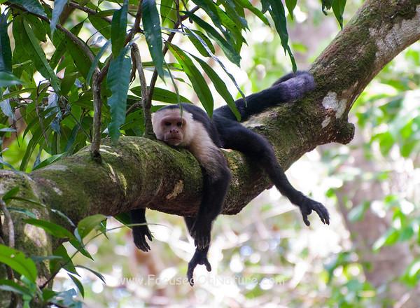 White-faced Capuchin Chillin'