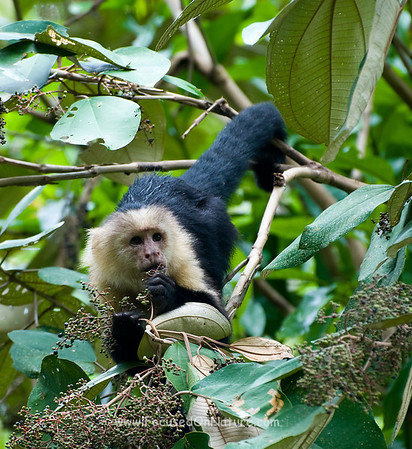 White-face Capuchin