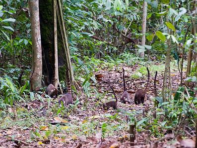 White-nosed Coati Troop