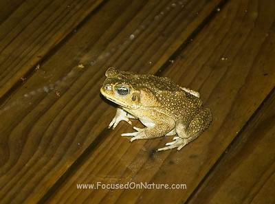 Our Nightly Marine Toad Visitor