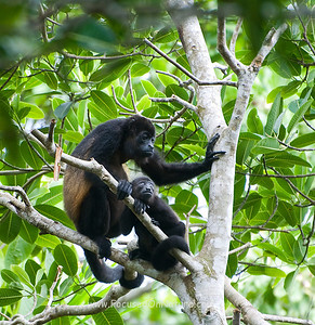 Mantled Howler Monkeys