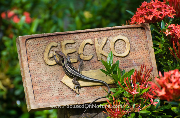 Four-Striped Ameiva and Cabina Sign