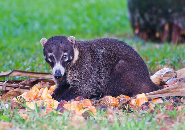 White-nosed Coati Snacking