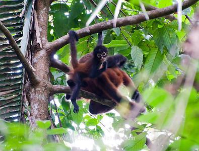 Spider Monkey Baby