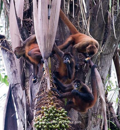 Spider Monkey Troop