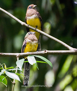 Female Black Throated Trogon