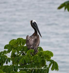 Brown Pelican Roosting