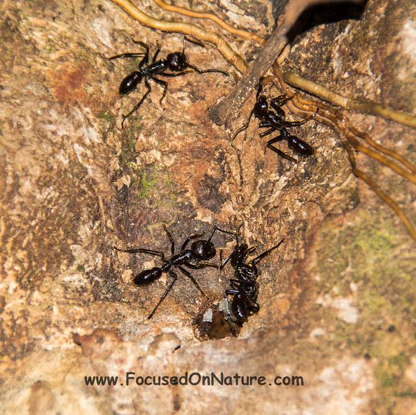 Bullet Ants
