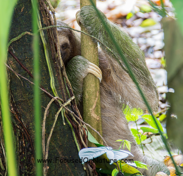 Three-toed Sloth (Weekly