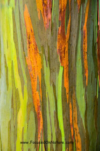 Eucalyptus Bark