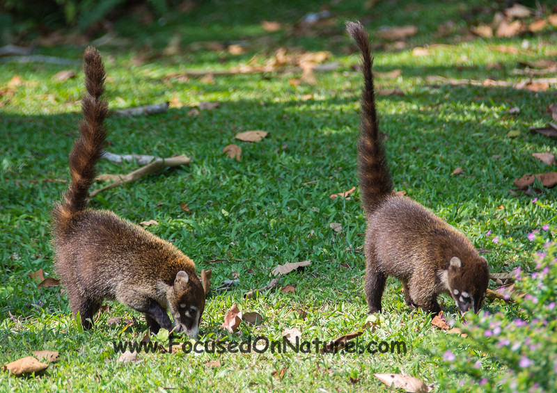 White-nosed Coati Pair