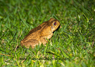 Marine Toad (Cane Toad)