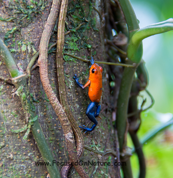 Strawberry Dart Frog (Blue Jeans Frog)