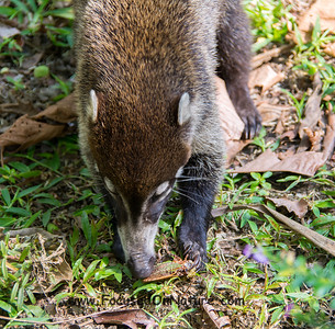 White-nosed Coati Snack