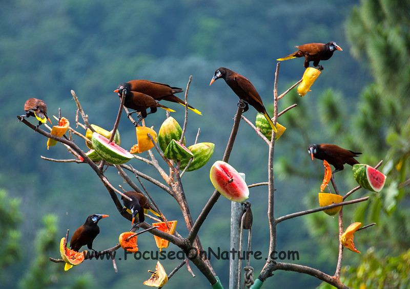 Montezuma Oropendola at Feeding Station