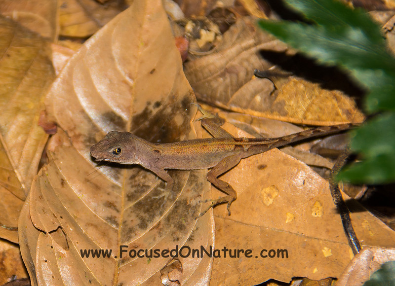 Ground Anole