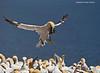 Gannet landing with nesting material