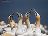Bonding behaviour  between Gannet pairs
