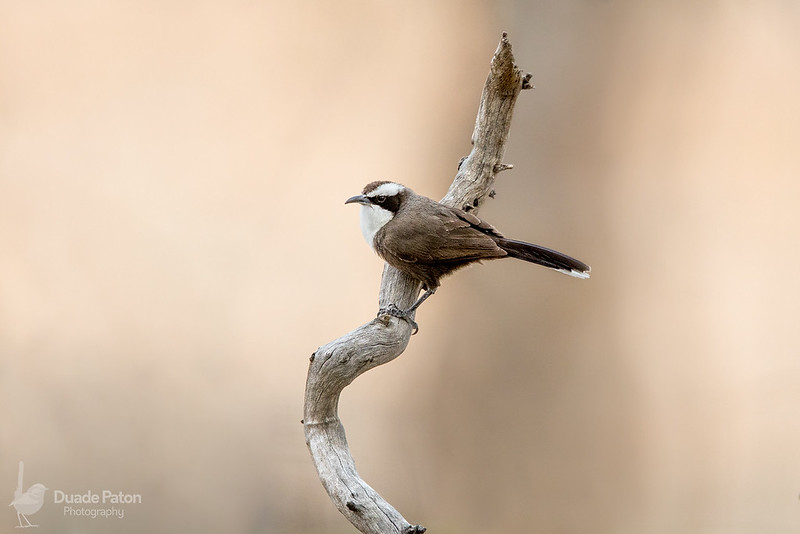 Hall's Babbler