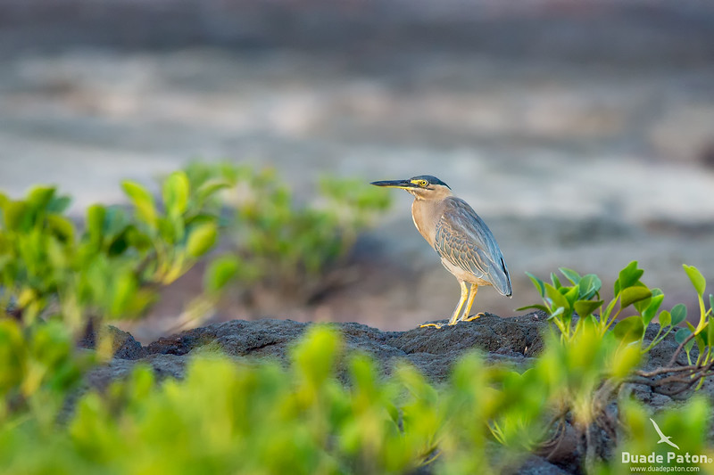 Striated Heron