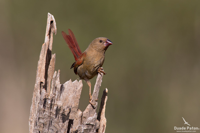 Crimson Finch-Immature