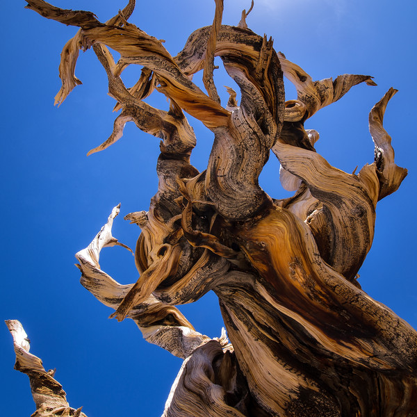 Contorted Bristlecone Tree Limb