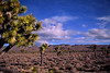 Lee Flat supports a huge Joshua tree forest along the top of the Inyo Mountains to the west of the NP.