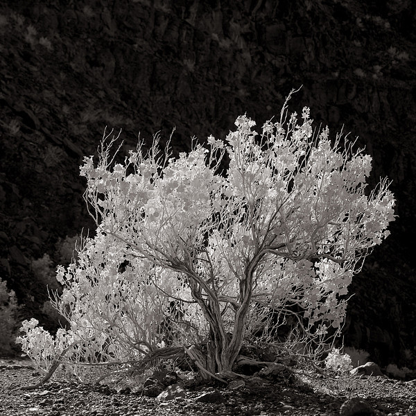 <em>Desert Holly</em> Copyright 2009 Ken Walsh