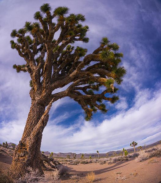 <em>Joshua Tree</em> Copyright 2012 Ken Walsh