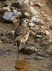 Brownish bird feeding by and in the shallow water of Salt Creek. Possibly a waterthrush. (3/19/2013, Salt Creek Trail, Death Valley NP)<br /> EF100-400mm f/4.5-5.6L IS USM @ 400mm f/8 1/500s ISO400