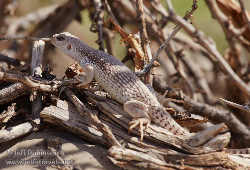 A large white & brownish lizard, likely a desert iguana (3/19/2013, Mesquite Flat Sand Dunes, Death Valley NP)<br /> EF100-400mm f/4.5-5.6L IS USM @ 400mm f/8 1/1000s ISO400