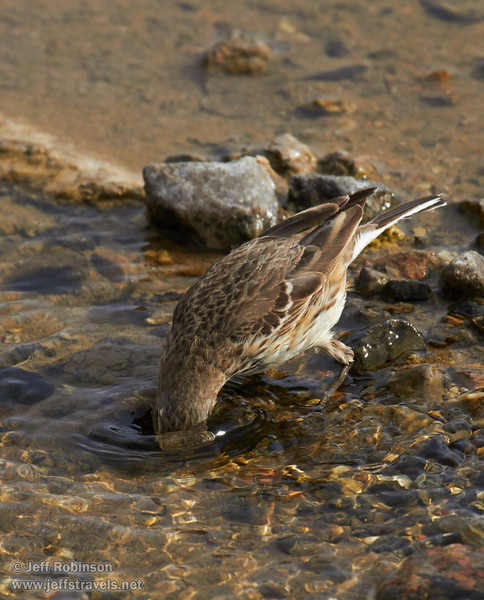 Brownish bird feeding by and in the shallow water of Salt Creek. Possibly a waterthrush. (3/19/2013, Salt Creek Trail, Death Valley NP)<br /> EF100-400mm f/4.5-5.6L IS USM @ 400mm f/9 1/640s ISO400