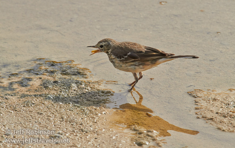 Brownish bird feeding by and in the shallow water of Salt Creek. Possibly a waterthrush. (3/19/2013, Salt Creek Trail, Death Valley NP)<br /> EF100-400mm f/4.5-5.6L IS USM @ 400mm f/10 1/800s ISO500
