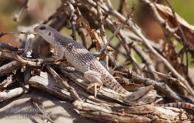A large white & brownish lizard (3/19/2013, Mesquite Flat Sand Dunes, Death Valley NP)<br /> EF100-400mm f/4.5-5.6L IS USM @ 400mm f/8 1/1000s ISO400