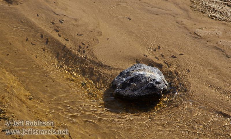 Many pupfish swimming (feeding) around a rock in Salt Creek. (3/19/2013, Salt Creek Trail, Death Valley NP)<br /> EF24-105mm f/4L IS USM @ 105mm f/7 1/500s ISO200