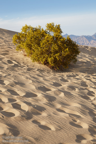 A creosote bush with yellow flowers on the side of a sand dune surrounded by footprints. (3/19/2013, Mesquite Flat Sand Dunes, Death Valley NP)<br /> EF24-105mm f/4L IS USM @ 60mm f/10 1/320s ISO400