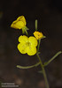 Unidentified yellow flower with 4 petals. The flower itself somewhat resembles a Desert Primrose, but I haven't yet been able to find a primrose with both leaves and flowers to match this specimen. (3/20/2013, Titus Canyon, Death Valley NP)<br /> EF100mm f/2.8 Macro USM @ 100mm f/8 1/180s ISO100