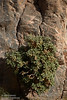 A plant with fuzzy-looking green leaves (likely Desert Rocknettle) grows on the grey and pink patterned canyon wall. (3/20/2013, Titus Canyon, Death Valley NP)<br /> EF24-105mm f/4L IS USM @ 82mm f/8 1/500s ISO320