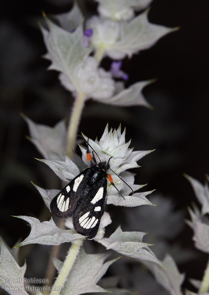 """A black-and-white moth with orange pollen on its front legs, sitting on a blue-green desert holly bush with tiny purple flowers. This appears to be a Ridings' Forester Moth (Alypia ridingsii), part of the Agaristinae subfamily.<br /> <a href=""""http://pnwmoths.biol.wwu.edu/browse/family-noctuidae/subfamily-agaristinae/"""">http://pnwmoths.biol.wwu.edu/browse/family-noctuidae/subfamily-agaristinae/</a><br /> <a href=""""http://bugguide.net/node/view/12342/bgimage?from=120"""">http://bugguide.net/node/view/12342/bgimage?from=120</a><br /> <a href=""""http://bugguide.net/node/view/380375/bgimage"""">http://bugguide.net/node/view/380375/bgimage</a><br /> (3/20/2013, Titus Canyon, Death Valley NP)<br /> EF100mm f/2.8 Macro USM @ 100mm f/16 1/180s ISO200"""