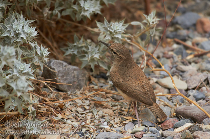 A grey-brown bird with a comparatively long, grayish beak and a short tail hunting for food (probably insects) beside a desert holly bush. Probably a Rock Wren (The Sibley Guide to Birds, p. 391). (3/20/2013, Titus Canyon, Death Valley NP)<br /> EF100-400mm f/4.5-5.6L IS USM @ 400mm f/5.6 1/320s ISO800