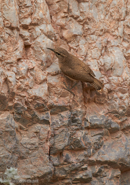 A grey-brown bird with a comparatively long, grayish beak and a short tail on the canyon wall  hunting for food (probably insects). Probably a Rock Wren (The Sibley Guide to Birds, p. 391). (3/20/2013, Titus Canyon, Death Valley NP)<br /> EF100-400mm f/4.5-5.6L IS USM @ 340mm f/5.6 1/400s ISO800