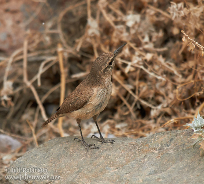 A grey-brown bird with a comparatively long, grayish beak and a short tail hunting for food (probably insects) beside a desert holly bush. Probably a Rock Wren (The Sibley Guide to Birds, p. 391). (3/20/2013, Titus Canyon, Death Valley NP)<br /> EF100-400mm f/4.5-5.6L IS USM @ 340mm f/5.6 1/500s ISO800