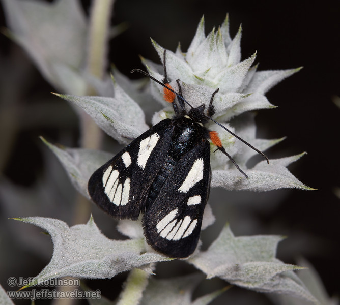 "A black-and-white moth with orange pollen on its front legs, sitting on a blue-green desert holly bush with tiny purple flowers. This appears to be a Ridings' Forester Moth (Alypia ridingsii), part of the Agaristinae subfamily.<br /> <a href=""http://pnwmoths.biol.wwu.edu/browse/family-noctuidae/subfamily-agaristinae/"">http://pnwmoths.biol.wwu.edu/browse/family-noctuidae/subfamily-agaristinae/</a><br /> <a href=""http://bugguide.net/node/view/12342/bgimage?from=120"">http://bugguide.net/node/view/12342/bgimage?from=120</a><br /> <a href=""http://bugguide.net/node/view/380375/bgimage"">http://bugguide.net/node/view/380375/bgimage</a><br /> (3/20/2013, Titus Canyon, Death Valley NP)<br /> EF100mm f/2.8 Macro USM @ 100mm f/16 1/180s ISO100"