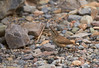 A grey-brown bird with a comparatively long, grayish beak and a short tail on the canyon floor. Probably a Rock Wren (The Sibley Guide to Birds, p. 391). (3/20/2013, Titus Canyon, Death Valley NP)<br /> EF100-400mm f/4.5-5.6L IS USM @ 400mm f/7 1/400s ISO800