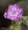 Unidentified purple or lavender-white flower with 5 petals. The filament of the stamen is the same lavender color, while the anther (tip) of each stamen is blue. (3/20/2013, Titus Canyon, Death Valley NP)<br /> EF100mm f/2.8 Macro USM @ 100mm f/14 1/180s ISO100