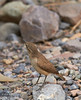 A grey-brown bird with a comparatively long, grayish beak and a short tail on the canyon floor. Probably a Rock Wren (The Sibley Guide to Birds, p. 391). (3/20/2013, Titus Canyon, Death Valley NP)<br /> EF100-400mm f/4.5-5.6L IS USM @ 400mm f/6.3 1/320s ISO800