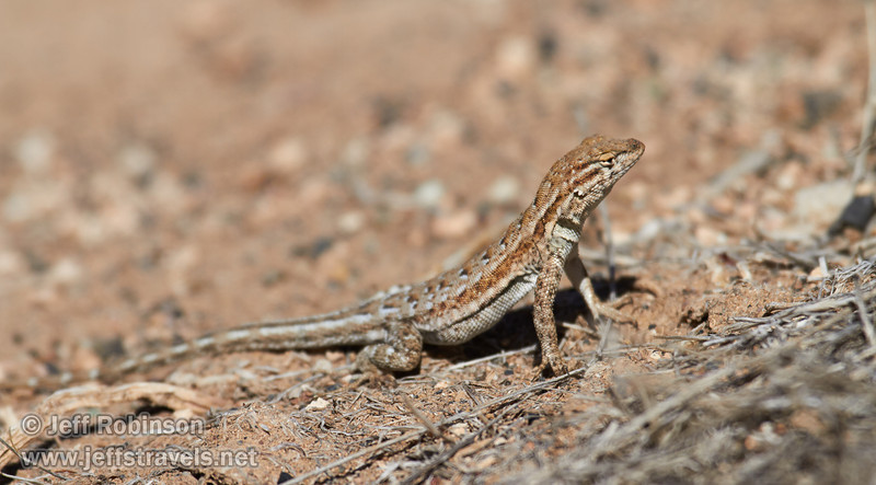 A lizard shows how it has essentially the same colors as its surroundings. Lizard at White Pass (3/21/2013, Titus Canyon Road, Death Valley NP)<br /> EF100-400mm f/4.5-5.6L IS USM @ 400mm f/8 1/640s ISO200