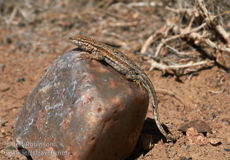 A lizard suns itself on a rock. Lizard at White Pass (3/21/2013, Titus Canyon Road, Death Valley NP)<br /> EF100-400mm f/4.5-5.6L IS USM @ 400mm f/11 1/1000s ISO200