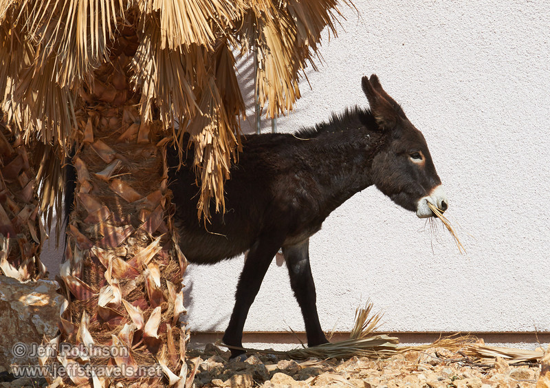 A burro who wandered into our RV park (3/22/2013, Death Valley Inn & RV Park, Death Valley NP)<br /> EF100-400mm f/4.5-5.6L IS USM @ 220mm f/8 1/800s ISO250