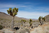 Joshua trees (3/10/2016, Death Valley Rd. going to Eureka Dunes, Death Valley trip)<br /> EF24-105mm f/4L IS USM @ 35mm f/10 1/200s ISO100